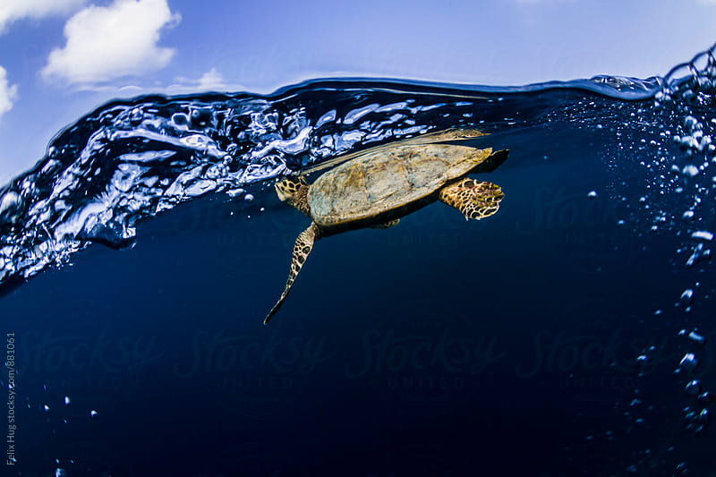Sea Turtle coming up for air by Felix Hug for Stocksy United