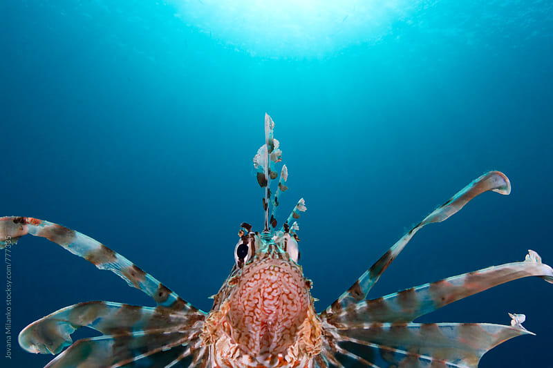 Portrait of a territorial lion fish going directly to the camera by Jovana Milanko for Stocksy United