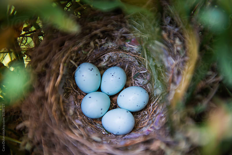 Birds nest with 5 blue eggs by Cara Slifka for Stocksy United