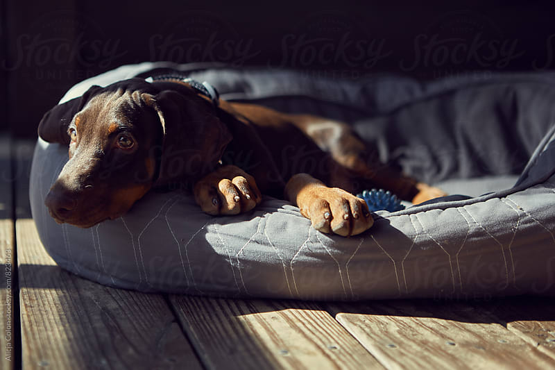 Lazy puppy by Alicja Colon for Stocksy United