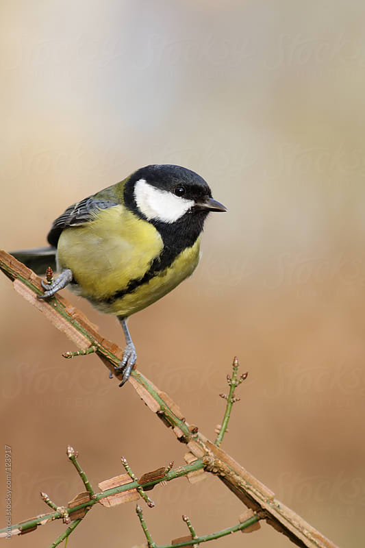 Great tit bird perched on a euonymus branch. by Marcel for Stocksy United