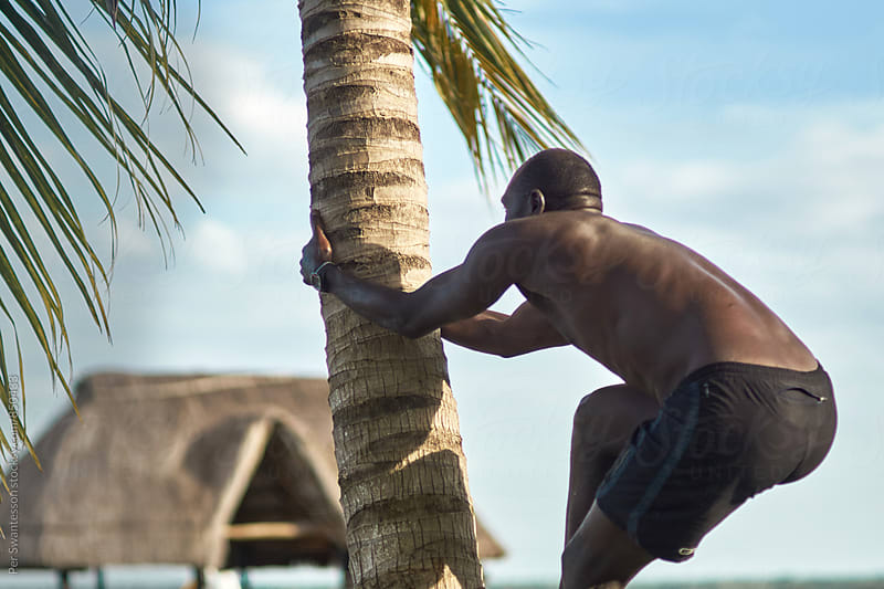 Fit man is climbs a coconut tree by Per Swantesson for Stocksy United