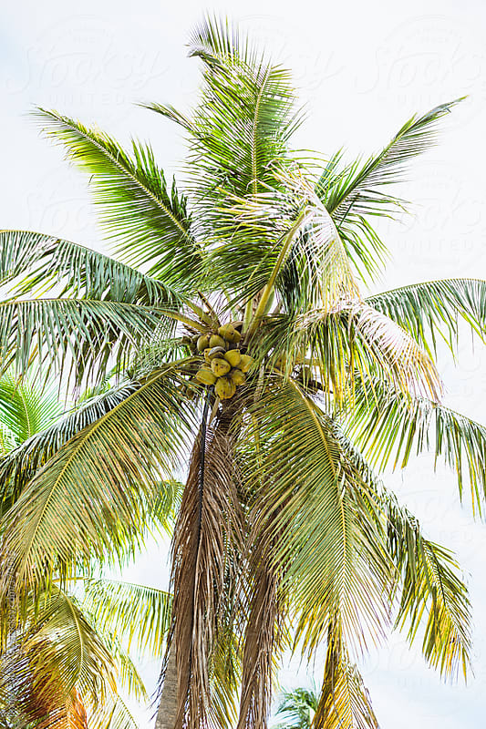 tropical palm tree with coconuts by Image Supply Co for Stocksy United