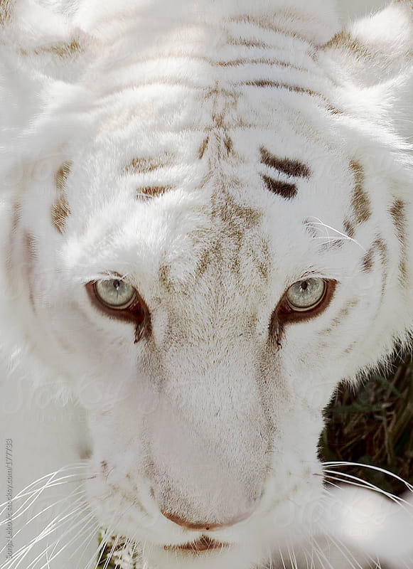 the look of a white tiger closeup by Sonja Lekovic for Stocksy United