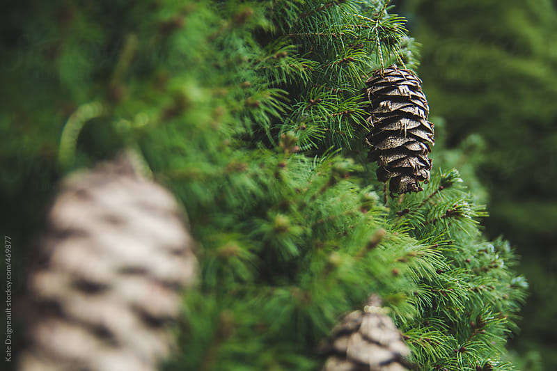 A golden pine cone sits in an evergreen tree.  by Kate Daigneault for Stocksy United