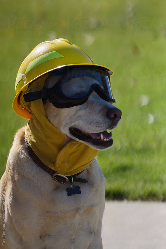 dog dressed in firefighter helmet and goggles by Tana Teel for Stocksy United