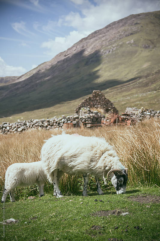 sheeps grazing in the scottish highlands by Leander Nardin for Stocksy United