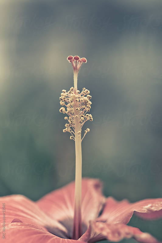 Pink Hibiscus Flower Stamen by suzanne clements for Stocksy United
