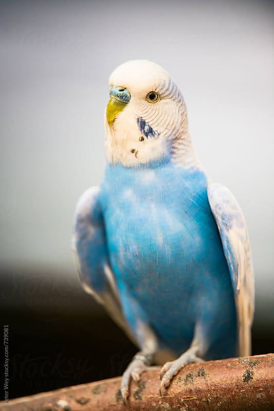 Budgerigar  by Peter Wey for Stocksy United