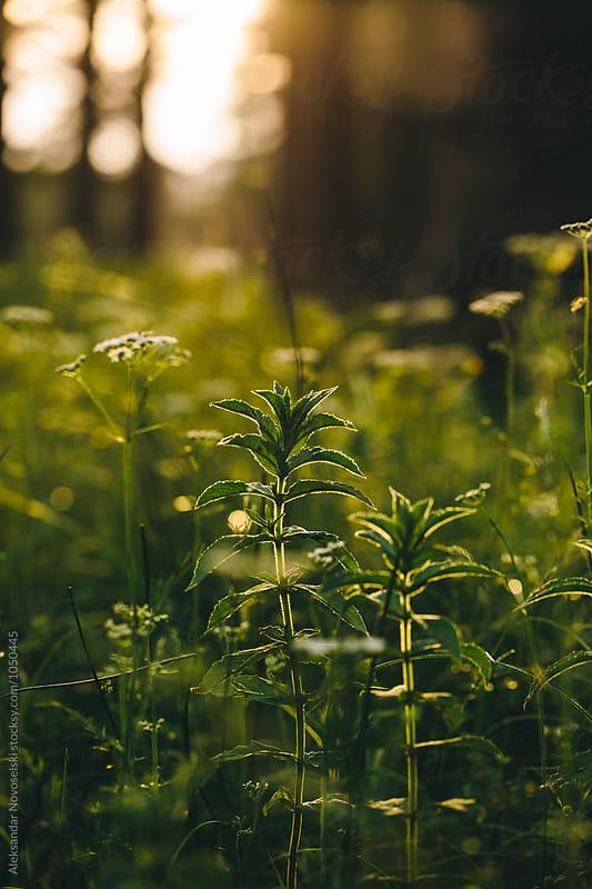 Forest by sunset, close up shot by Aleksandar Novoselski for Stocksy United