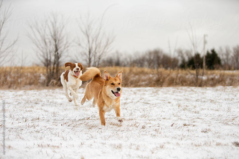 Winter dogs at play by aaronbelford inc for Stocksy United