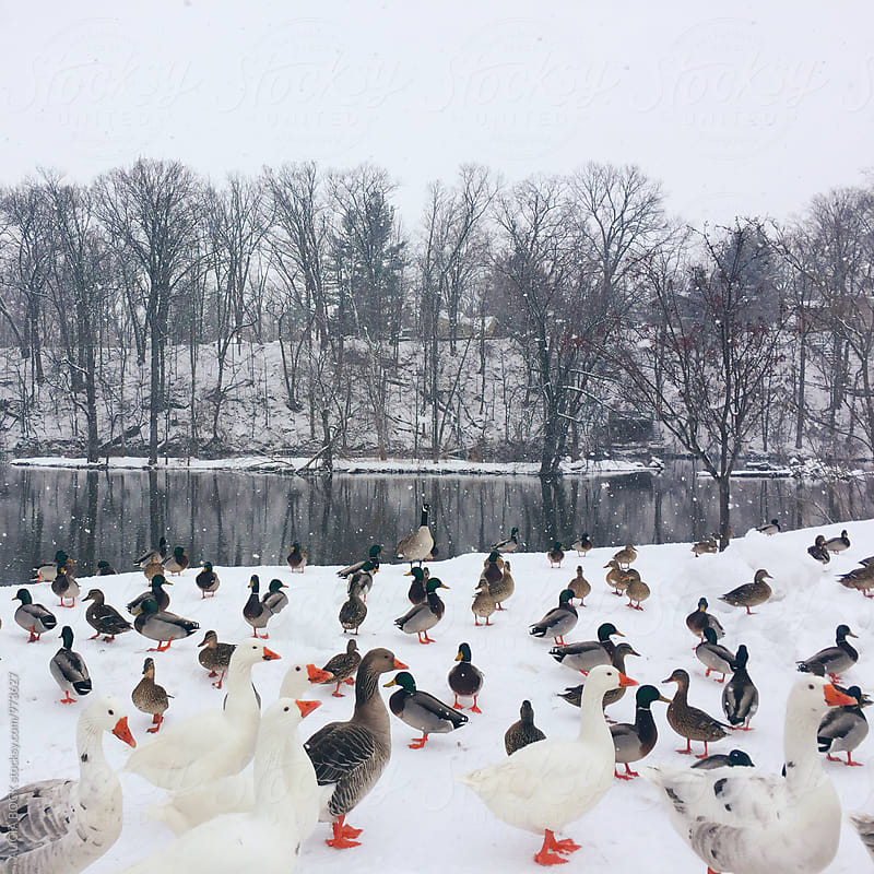 Ducks and Geese On A River Bank On A Snowy Day by ALICIA BOCK for Stocksy United
