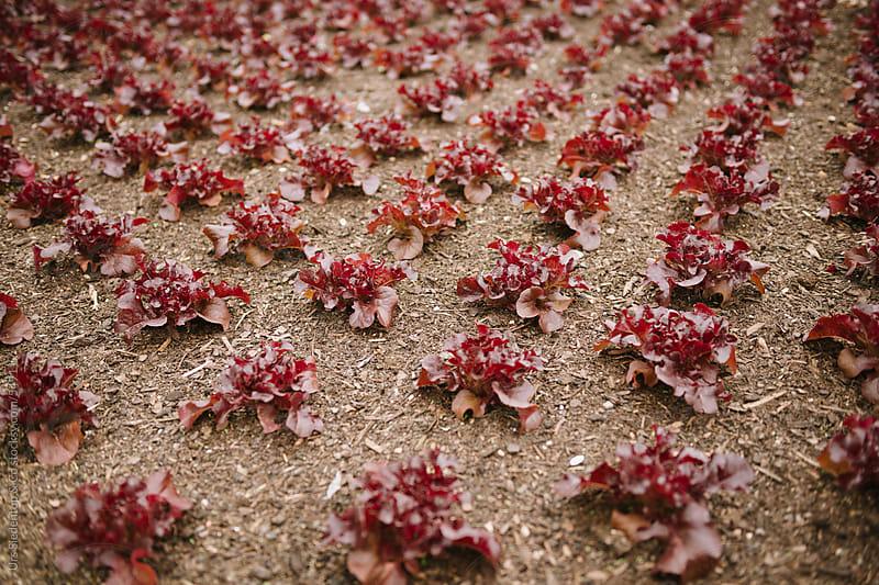 Red oak leaf lettuce field by Urs Siedentop & Co for Stocksy United