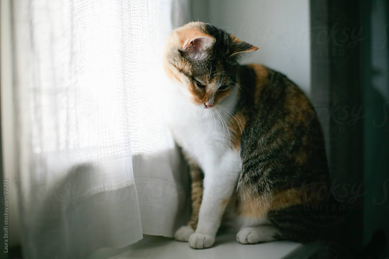 Tabby cat sits on window sill and looks at something by Laura Stolfi for Stocksy United