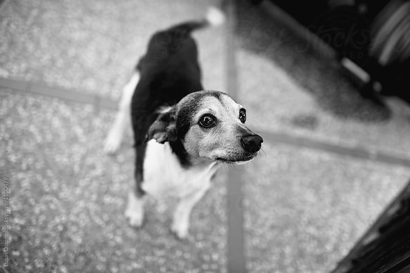 In black and white: Portrait of a small dog by Lucas Ottone for Stocksy United