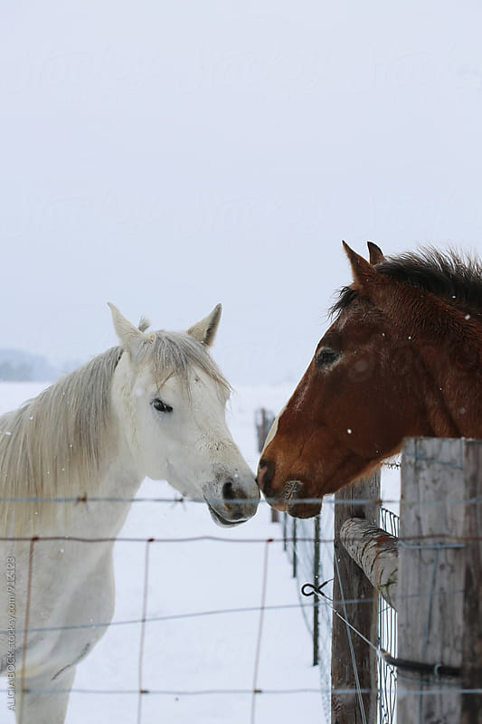Two Horses Standing Nose To Nose Across A Fence On A Snowy Day by ALICIA BOCK for Stocksy United