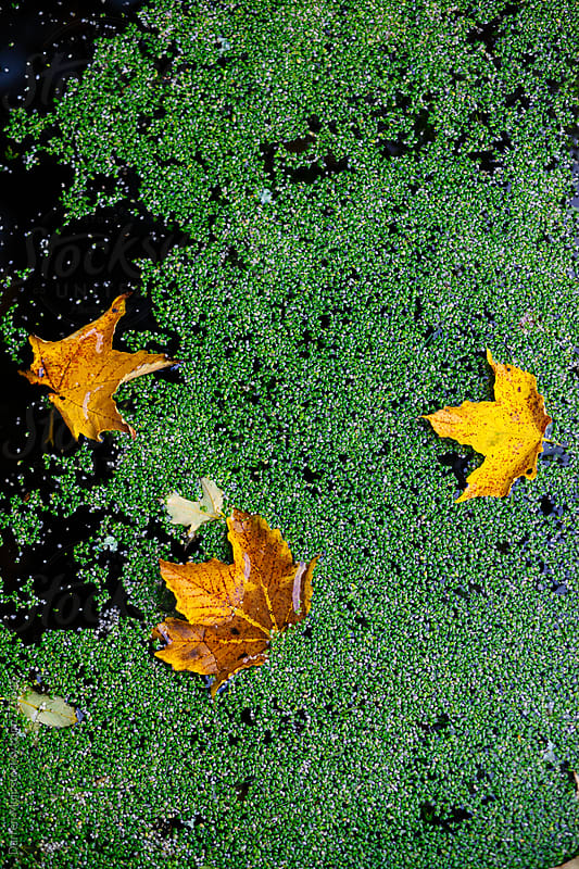 Autumn leaves floating on a pond with green background. by Darren Muir for Stocksy United
