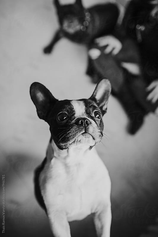 portrait of a french bulldog  by Thais Ramos Varela for Stocksy United