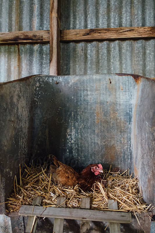 Chicken nesting and laying egg by Rowena Naylor for Stocksy United