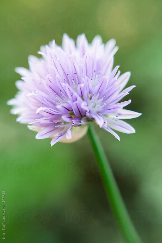 Extreme close up of chives flower in blossom by Laura Stolfi for Stocksy United