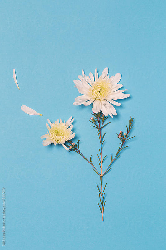 Flower Losing Petals by Nicholas Roberts for Stocksy United