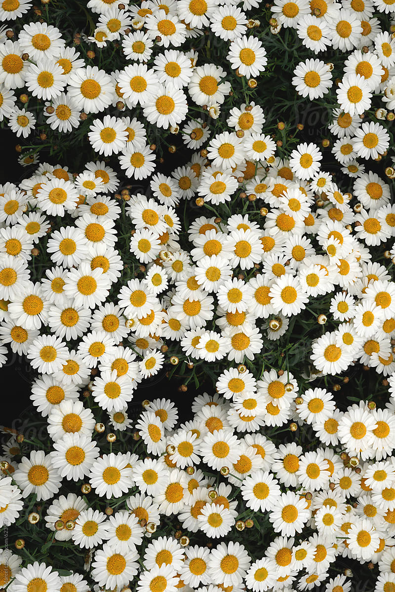 Summer Flowers Background Of White Daisies Stocksy United