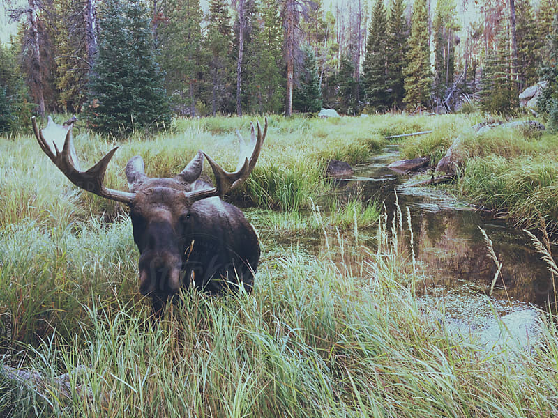 Swamp Moose by Kevin Russ for Stocksy United