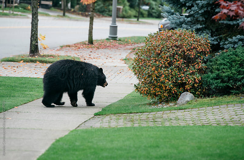 Bear In Residential Area by Ronnie Comeau for Stocksy United