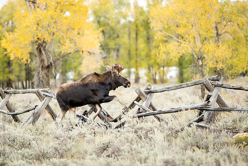 Bull Moose  by Rob Sylvan for Stocksy United