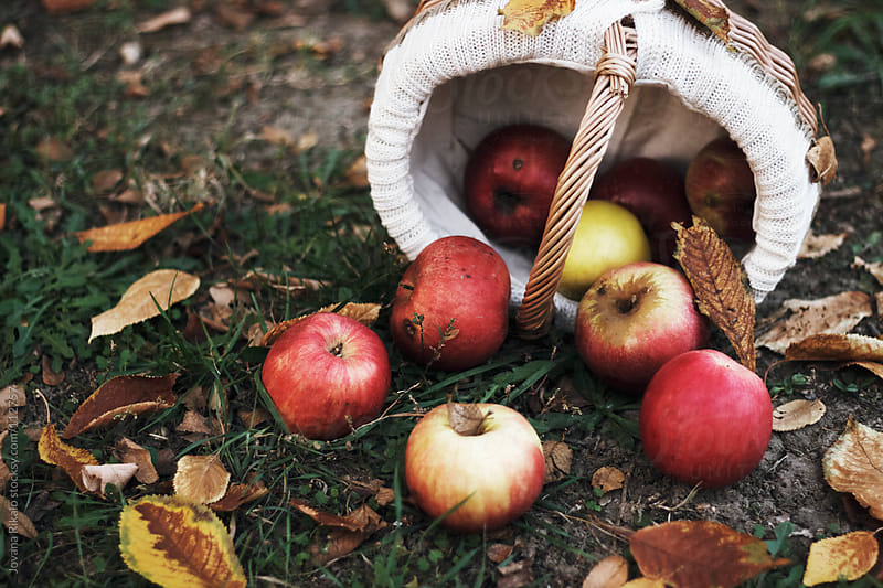 Fresh apples scattered on the ground by Jovana Rikalo for Stocksy United