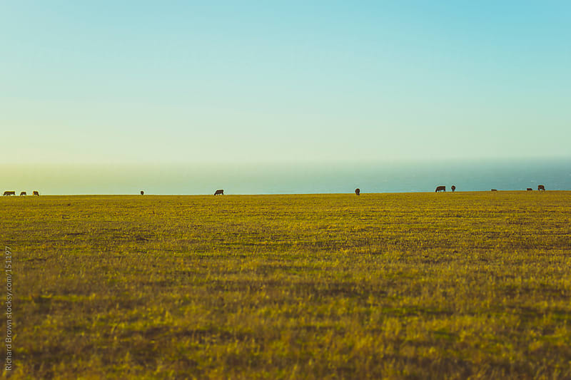 Cows on the horizon by Richard Brown for Stocksy United