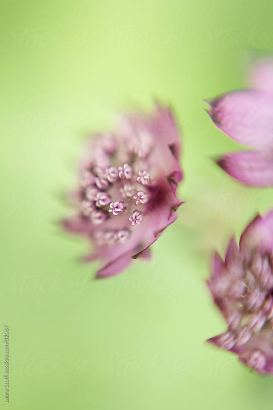 Fleeting Astrantia major Primadonna flowers by Laura Stolfi for Stocksy United