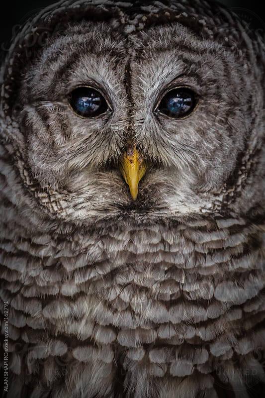 Barred Owl by ALAN SHAPIRO for Stocksy United