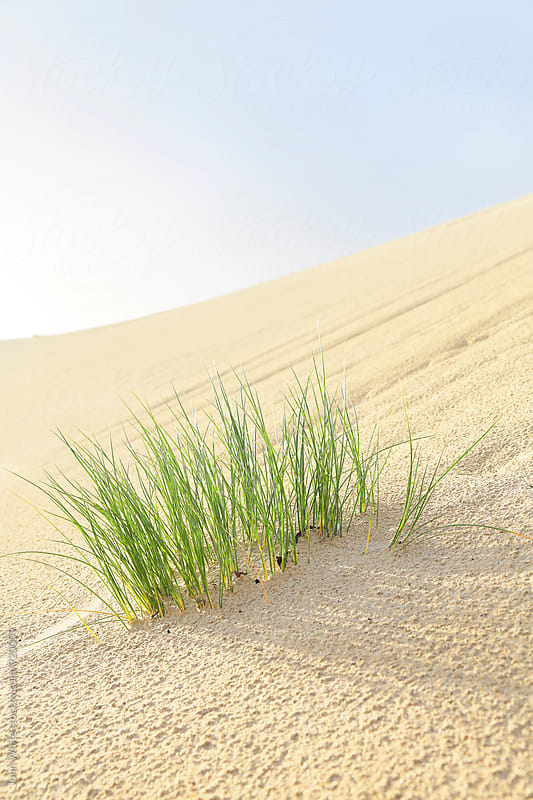 Dune grass on a sand dune. by John White for Stocksy United