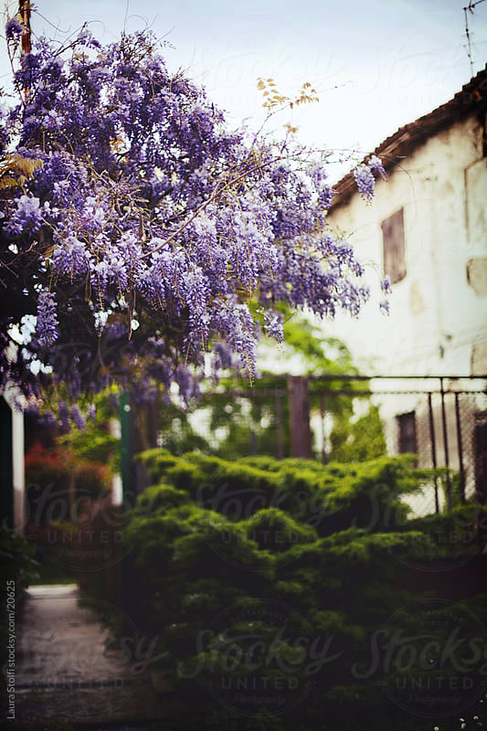 Wisteria plant in bloom in front of deserted ancient farm in Italy by Laura Stolfi for Stocksy United