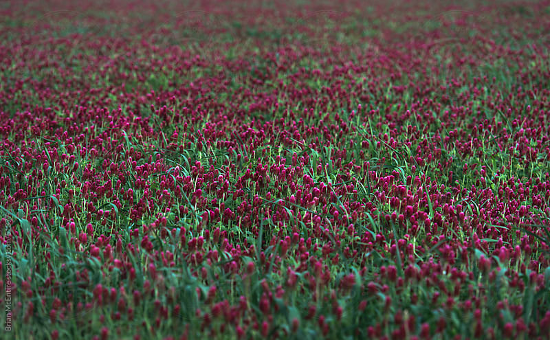 Crimson Clover Field Background by Brian McEntire for Stocksy United