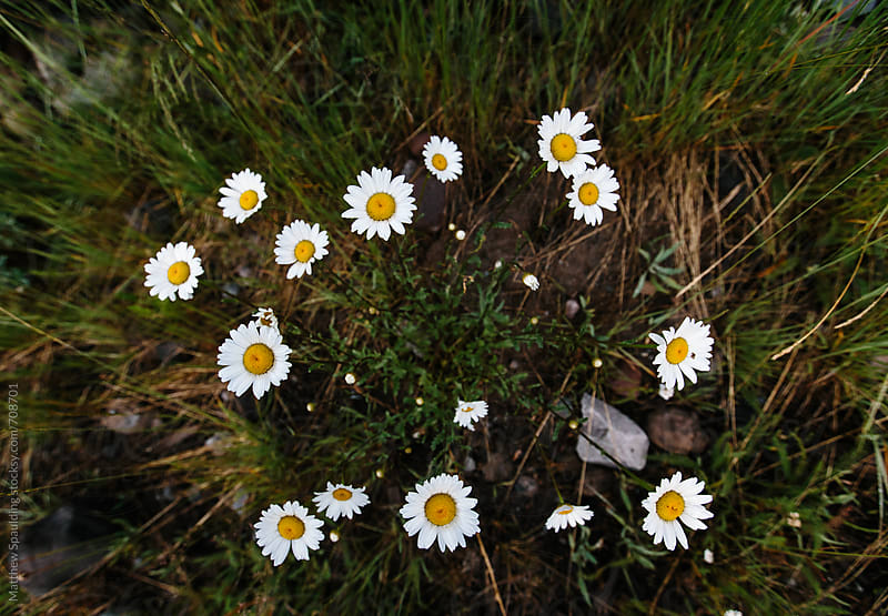 Wildflowers growing in circle in grass outdoors by Matthew Spaulding for Stocksy United