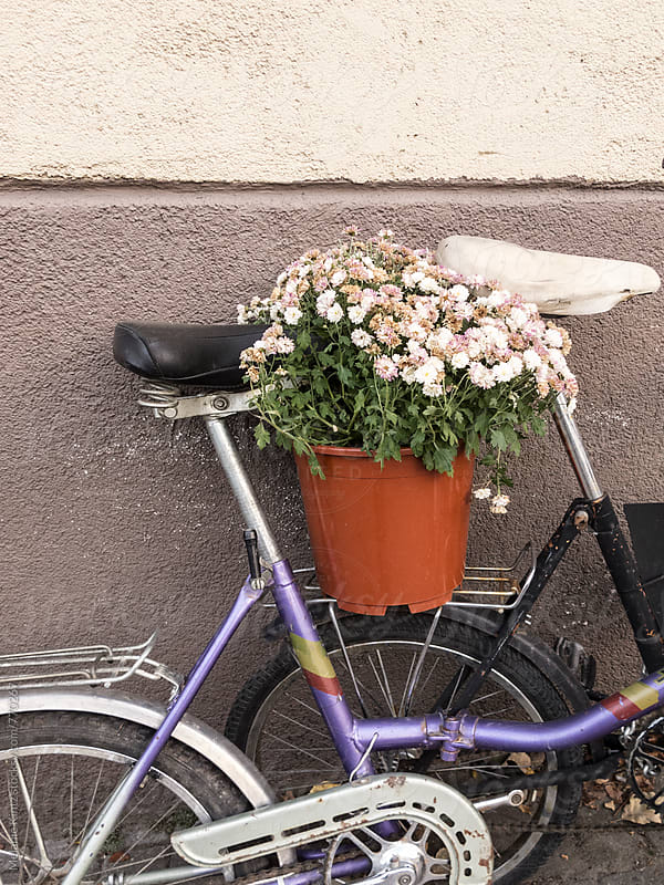 Planter with fading chrysanthemums on the back of a bicycle by Melanie Kintz for Stocksy United