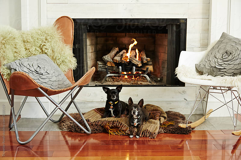 Two Chihuahua dogs in front of fireplace in living room by Trinette Reed for Stocksy United