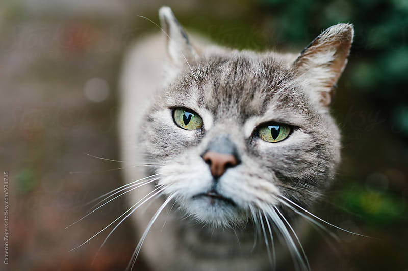 close-up of curious gray cat with green eyes by Cameron Zegers for Stocksy United