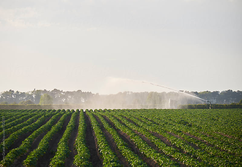 Irrigation system watering a field at sunset. Norfolk, UK. by Liam Grant for Stocksy United