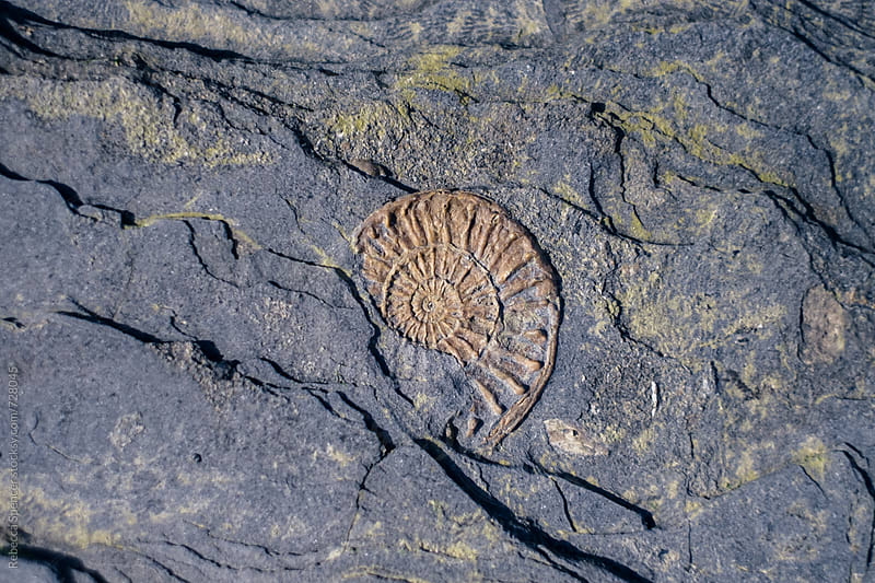 Ammonite fossil embedded in rock by Rebecca Spencer for Stocksy United