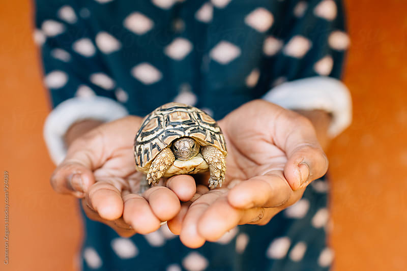 man holding young tortoise in Tanzania by Cameron Zegers for Stocksy United