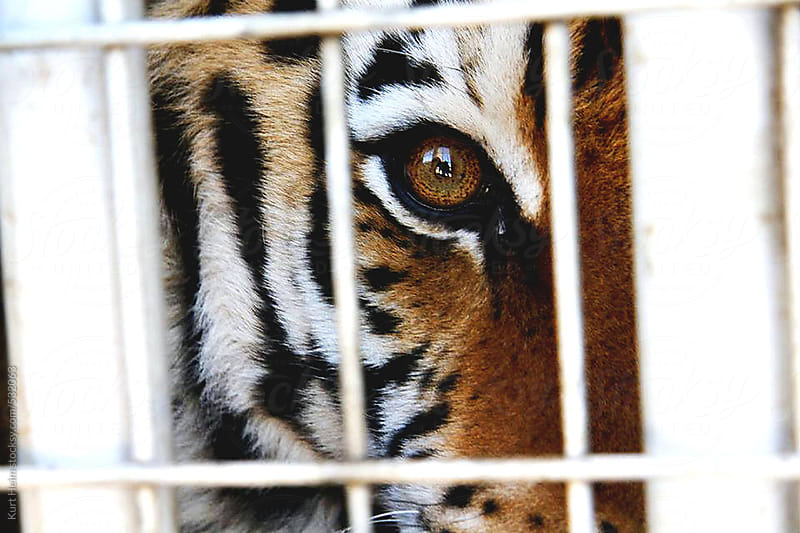 Caged Siberian Tiger by Kurt Heim for Stocksy United