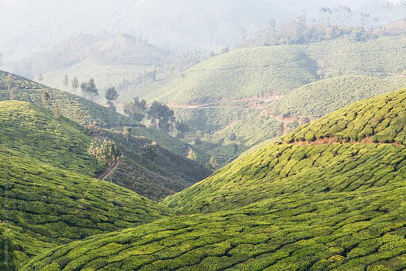Tea plantations on green mountain landscape. Munnar, Kerala, India by Alejandro Moreno de Carlos for Stocksy United