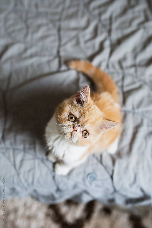 Adorable persian kitten looking at camera by Jovana Rikalo for Stocksy United