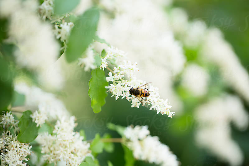 Hoverfly on white privet (Ligustrum) flowers in blossom by Laura Stolfi for Stocksy United