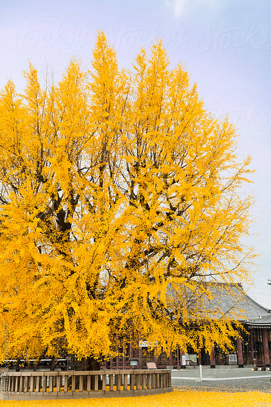 Old Japanese house with golden ginkgo tree in winter by Lawren Lu for Stocksy United