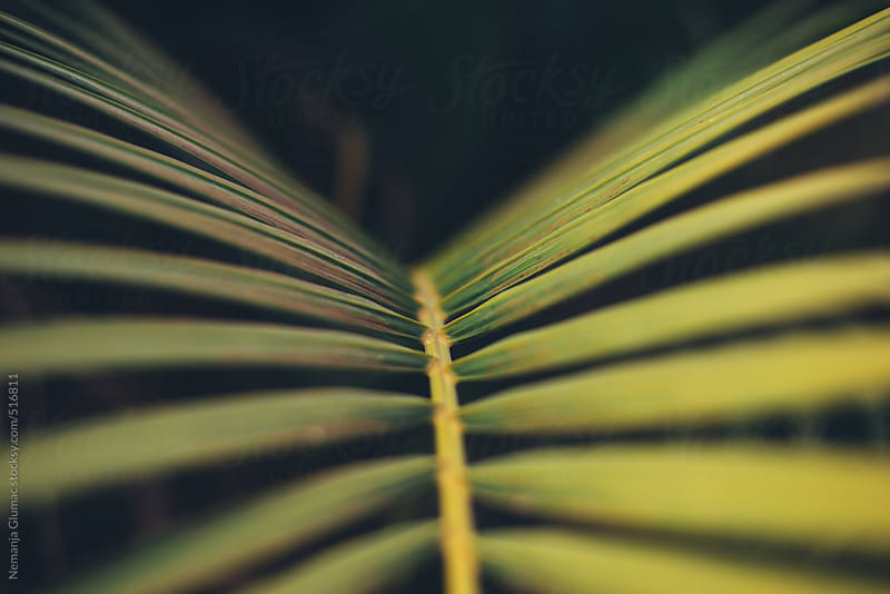 Detail of a Palm Leaf by Nemanja Glumac for Stocksy United