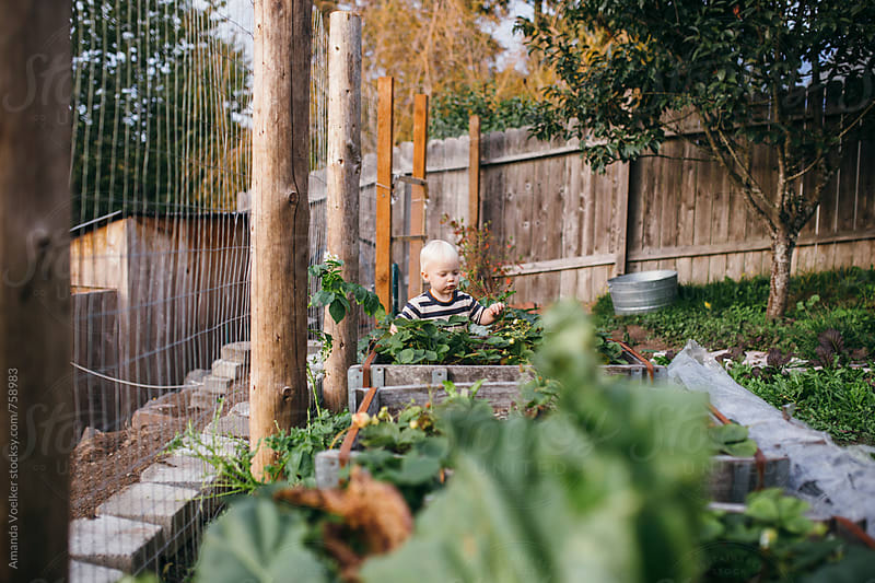 A Toddler Boy Stands at the Far End of the Garden, Picking Strawberies by Amanda Voelker for Stocksy United